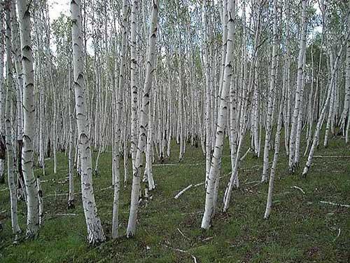 Birch Trees in Siberia, Russia (Alexander Krivenyshev)