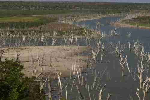 Trees that were once mostly submerged are now high and dry (Texas Tribune)