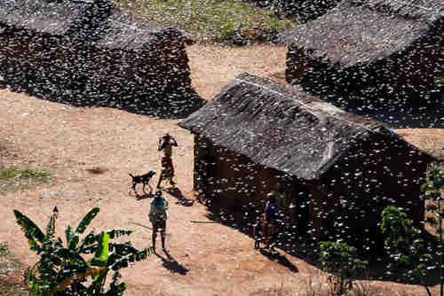 Locust swarm in Madagascar (FAO)