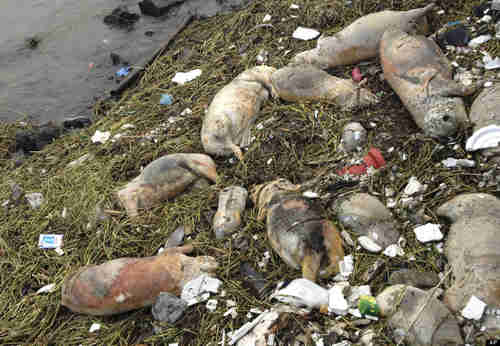 Dead pigs along the riverbank near Shanghai (AP)