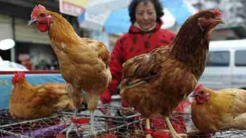 Pandemic concerns are rising over bird flu transmission to humans