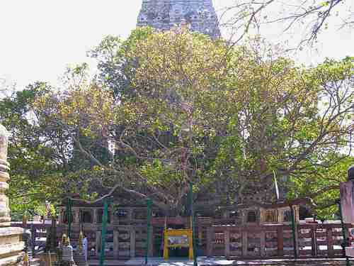 The Bodhi Tree where Lord Buddha achieved enlightenment in 531 BC