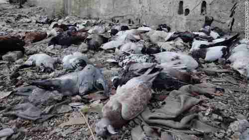 Pigeons lie dead on Saturday after Wednesday's chemical weapons attack (CNN)