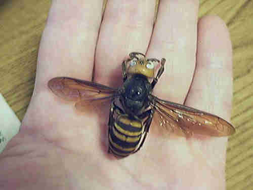 The Asian giant hornet or Vespa mandarinia