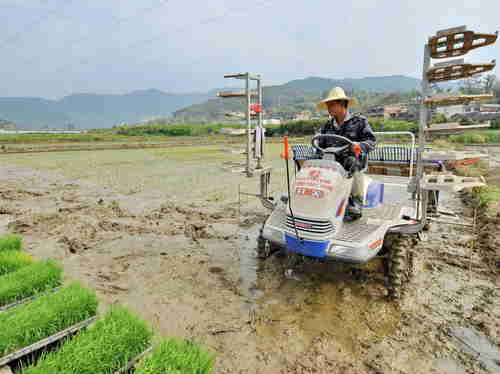 Farmer plants rice seedlings in southeast China's Fujian Province, a region heavily contaminated with cadmium.  (Xinhua)