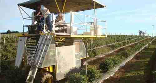 Littau ORXL Over-the-Row Berry Harvester has a harvesting speed of about 1.0 mph for picking blueberries and blackberries.  (Littau)