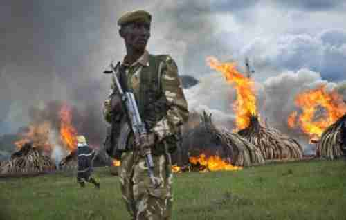 Pyres of ivory burn in Nairobi National Park in Kenya on Saturday (AP)
