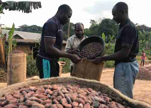 Anglophone Cameroon cocoa farmers have been forced to abandon their crops and flee the violence from the Francophone security forces (Reuters)