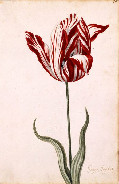 Anonymous 17th-century watercolor of the Semper Augustus, the most famous tulip bulb, which sold for a record price. <font size=-2>(Source: Wikipedia)</font>