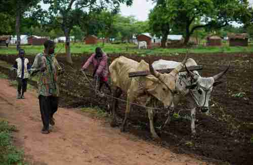 Central African Republic refugees plow a small plot of land for food (UN)